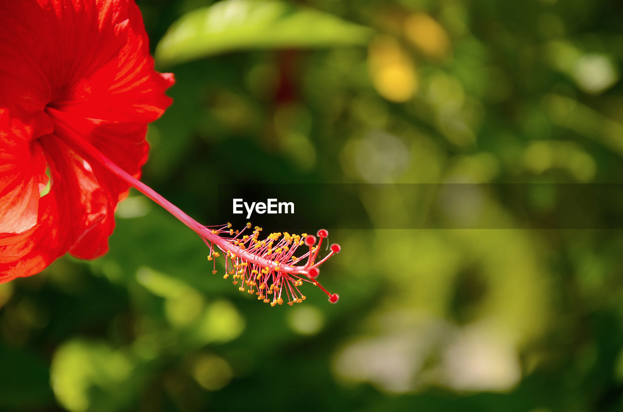 flowering plant, flower, plant, fragility, vulnerability, beauty in nature, freshness, petal, flower head, growth, close-up, focus on foreground, inflorescence, red, nature, day, pollen, one animal, animals in the wild, insect, no people, pollination, butterfly - insect