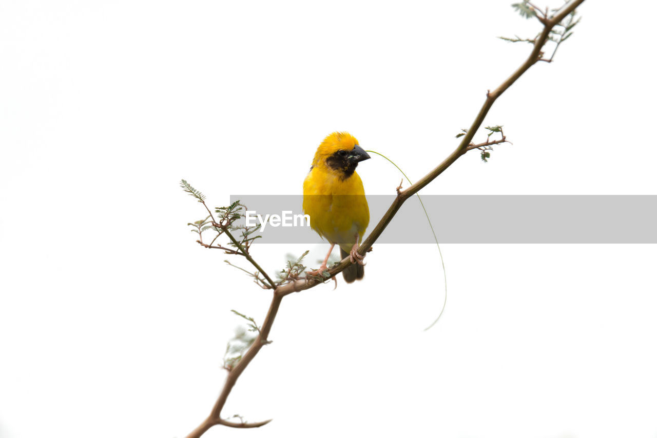 perching, one animal, bird, copy space, animals in the wild, animal themes, branch, clear sky, white background, animal wildlife, yellow, songbird, nature, no people, beauty in nature, outdoors, tree, day, bare tree, close-up
