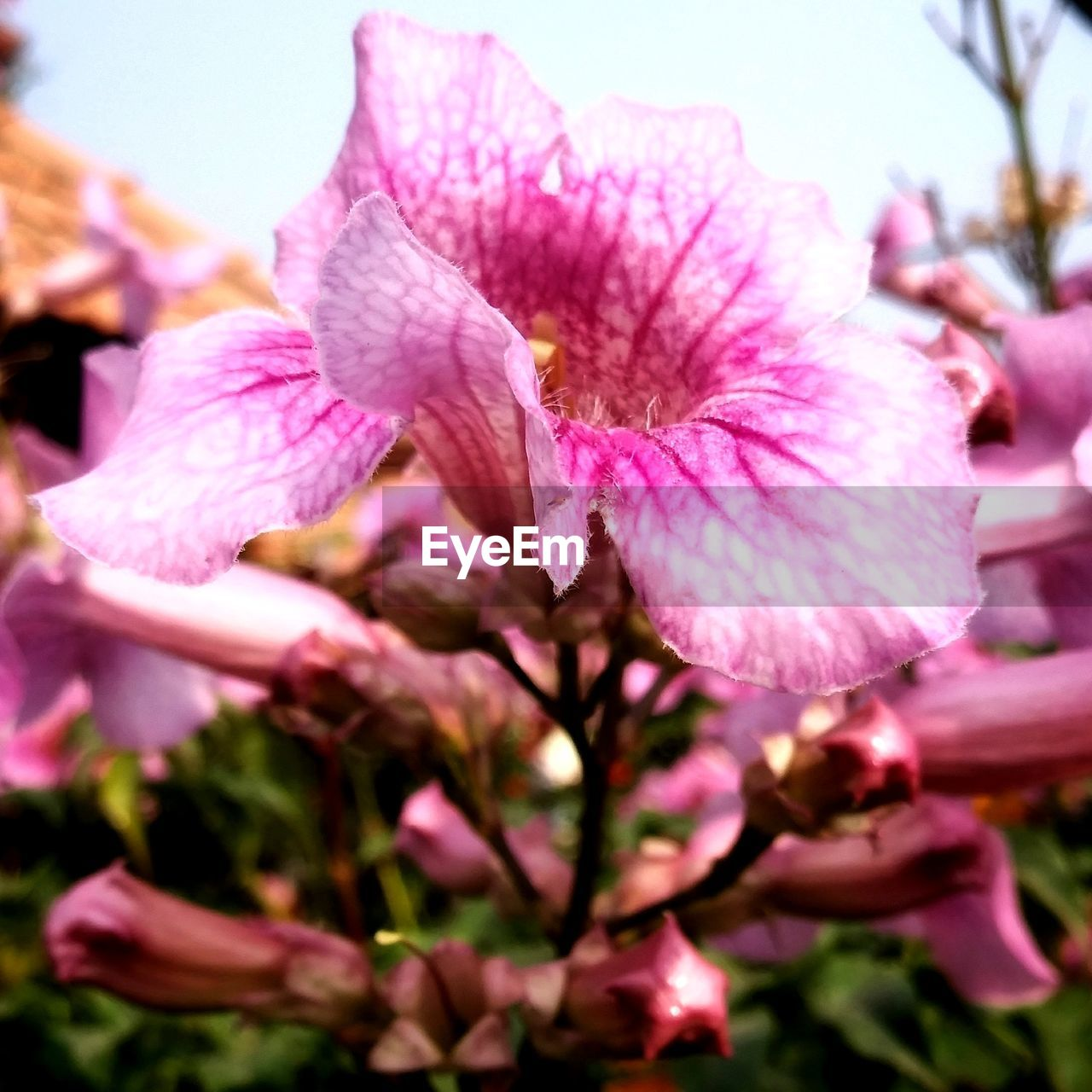 flower, pink color, beauty in nature, petal, nature, fragility, growth, flower head, close-up, no people, plant, freshness, stamen, outdoors, springtime, blooming, day