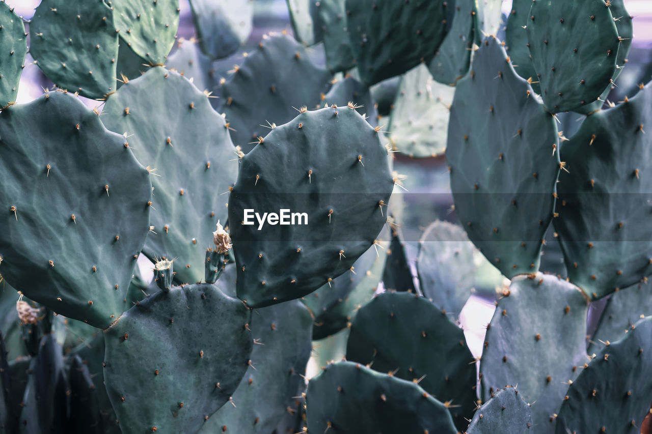 growth, beauty in nature, plant, succulent plant, close-up, cactus, day, no people, green color, nature, prickly pear cactus, flower, leaf, plant part, freshness, thorn, full frame, spiked, outdoors, selective focus
