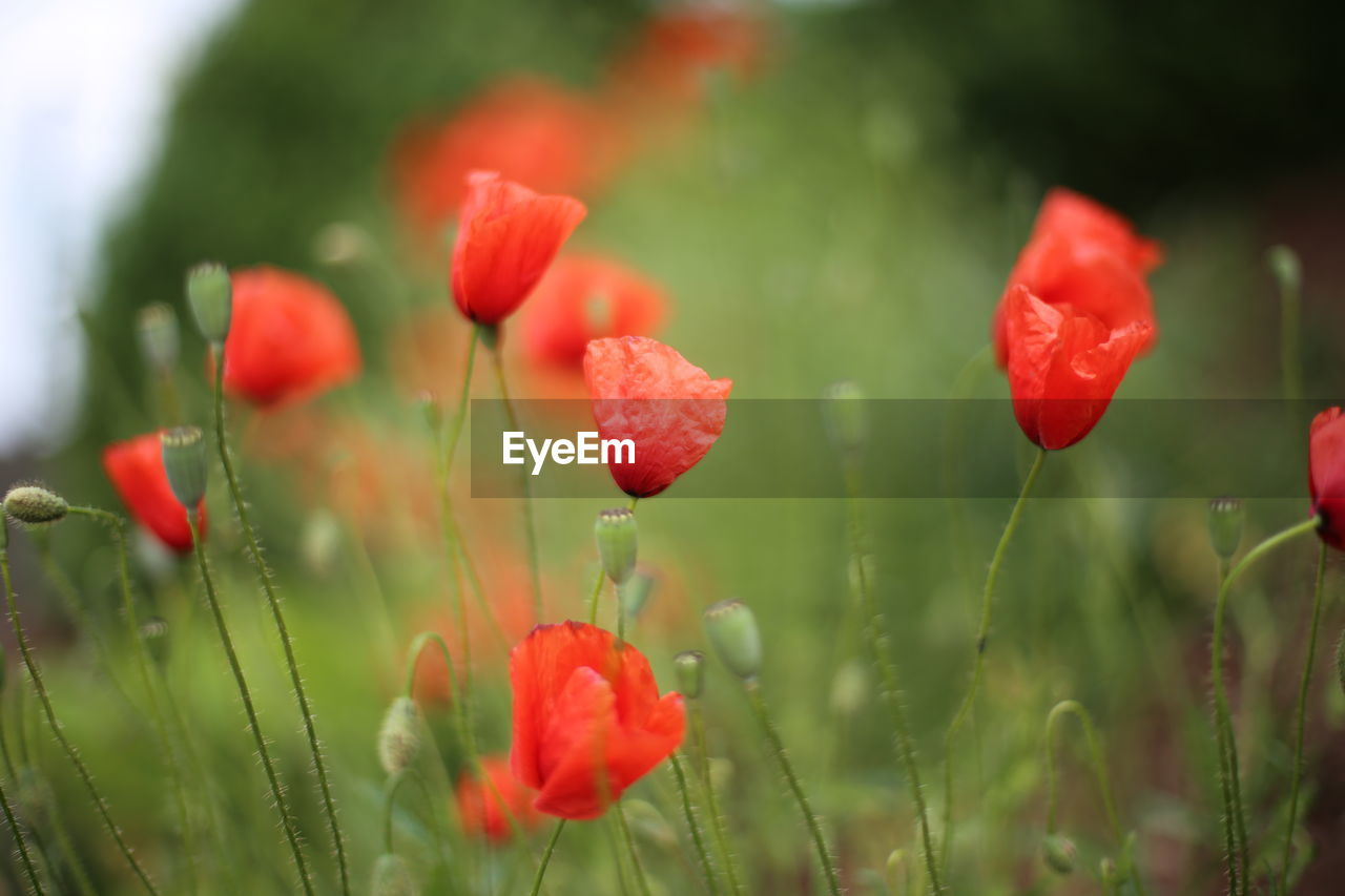 CLOSE-UP OF RED POPPY FLOWERS BLOOMING IN GARDEN