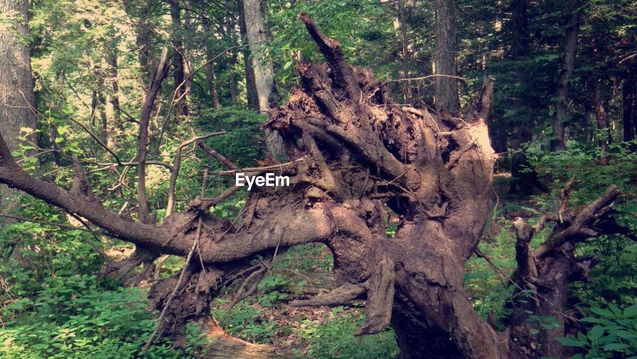 tree, tree trunk, nature, branch, forest, outdoors, no people, day, growth, mammal, beauty in nature, dead tree, animal themes