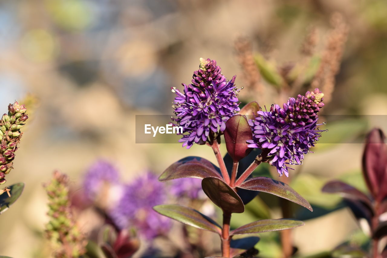 flowering plant, flower, beauty in nature, plant, vulnerability, fragility, freshness, close-up, purple, growth, petal, focus on foreground, flower head, inflorescence, day, no people, selective focus, nature, botany, outdoors