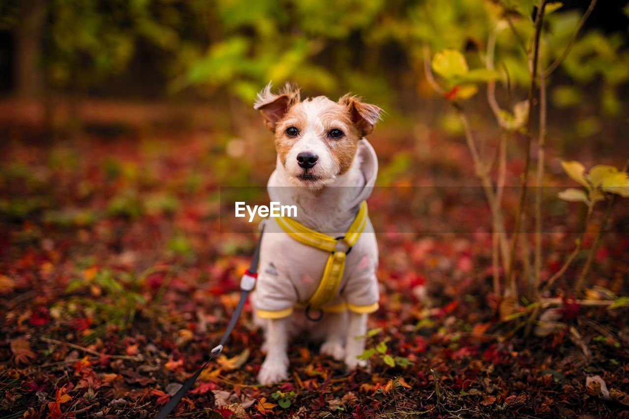 one animal, canine, dog, pets, domestic, mammal, domestic animals, portrait, looking at camera, land, focus on foreground, standing, day, vertebrate, people, nature, full length, front view, outdoors, jack russell terrier, purebred dog, small
