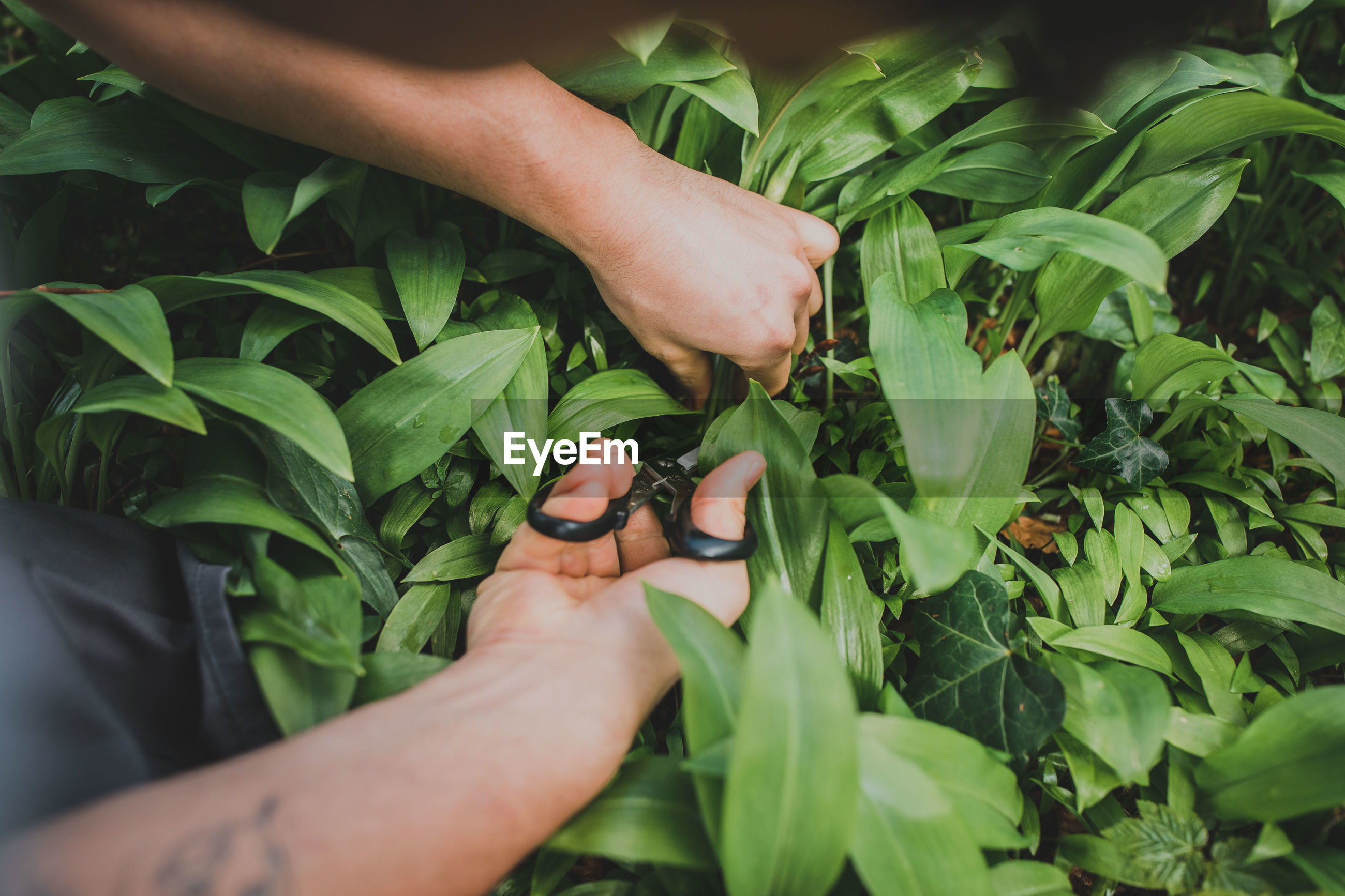 Cropped hands cutting plants with scissors