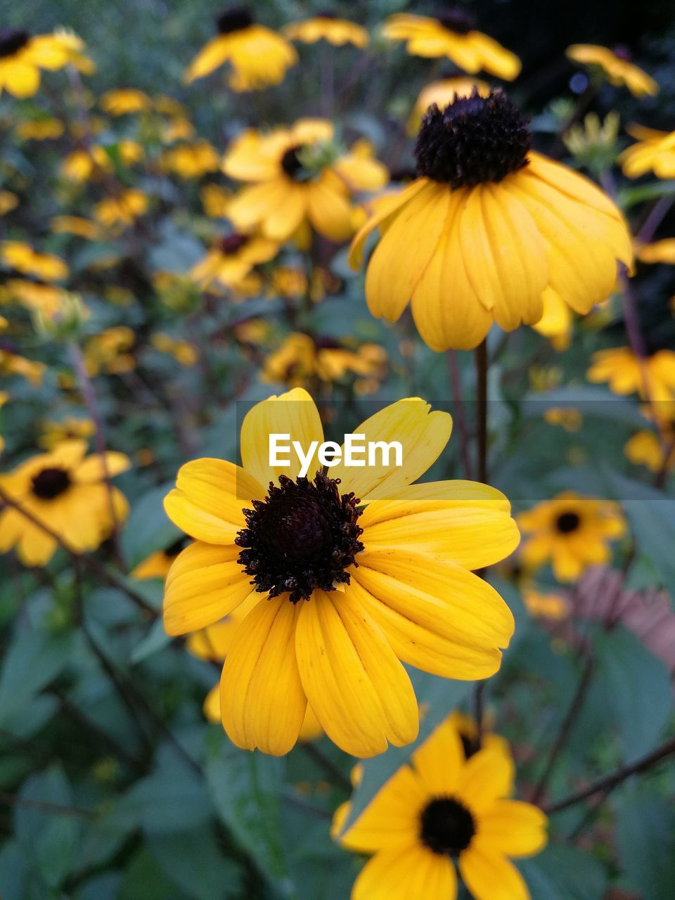 flower, yellow, petal, fragility, flower head, growth, plant, nature, beauty in nature, blooming, freshness, focus on foreground, day, black-eyed susan, outdoors, no people, close-up