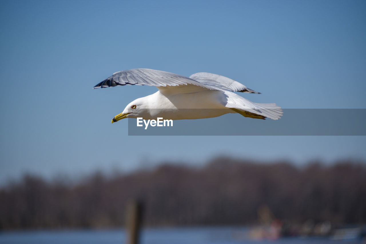 vertebrate, bird, animals in the wild, animal, animal wildlife, animal themes, one animal, flying, sky, spread wings, focus on foreground, water, no people, clear sky, nature, day, mid-air, white color, seagull, beak