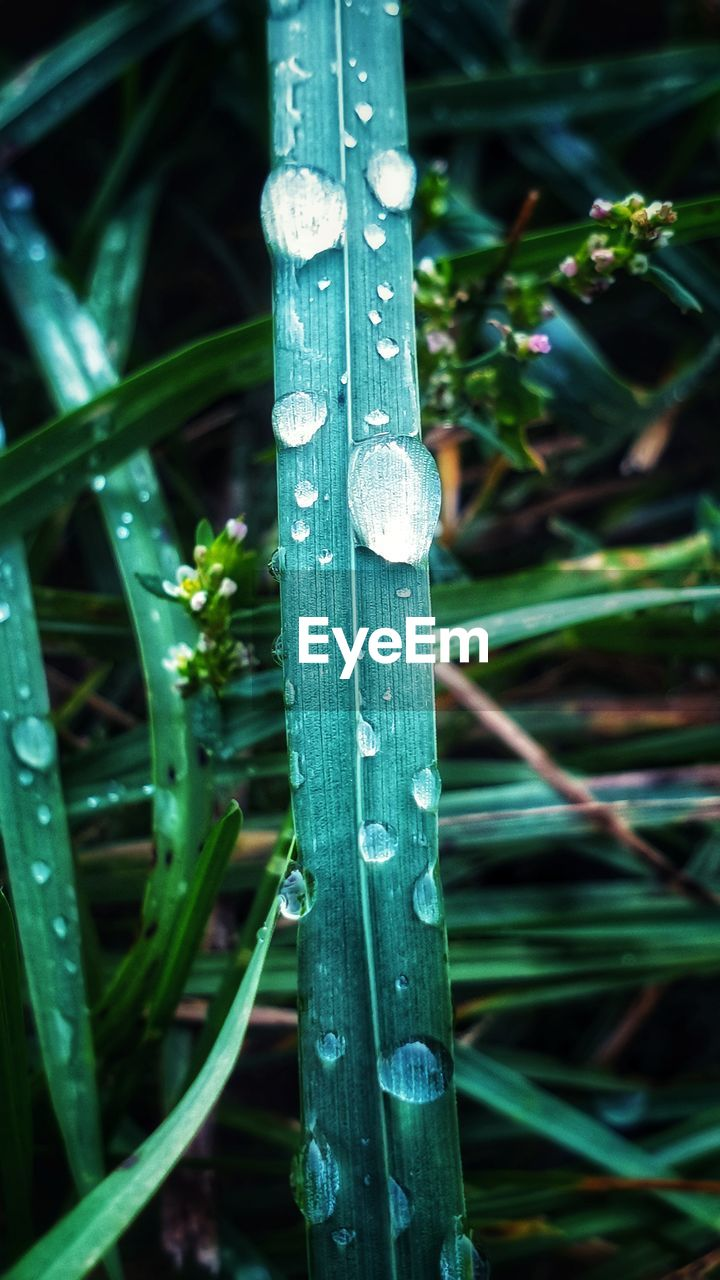 green color, plant, drop, growth, focus on foreground, close-up, no people, nature, water, wet, day, grass, beauty in nature, blade of grass, outdoors, plant part, leaf, land, tranquility, dew, raindrop, bamboo - plant