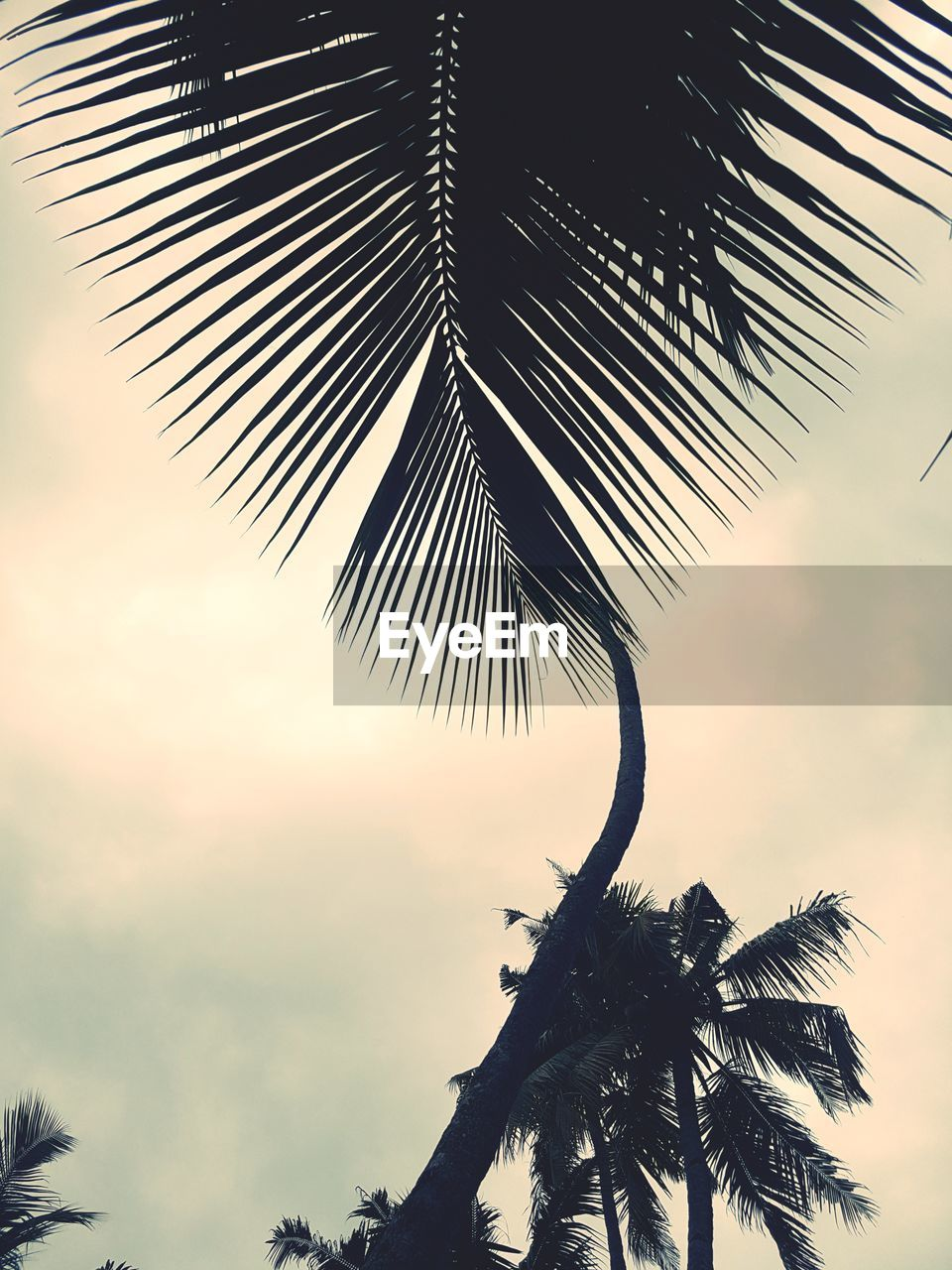palm tree, tree, sky, plant, tropical climate, leaf, beauty in nature, growth, palm leaf, nature, plant part, no people, tranquility, silhouette, cloud - sky, day, low angle view, sunset, outdoors, scenics - nature, coconut palm tree, tropical tree