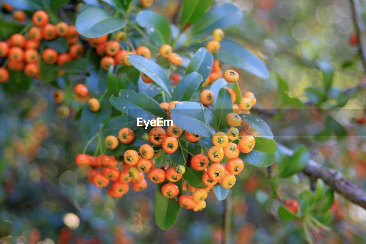 growth, leaf, plant part, freshness, fruit, food, plant, day, beauty in nature, berry fruit, food and drink, close-up, focus on foreground, healthy eating, orange color, no people, nature, selective focus, green color, rowanberry, outdoors