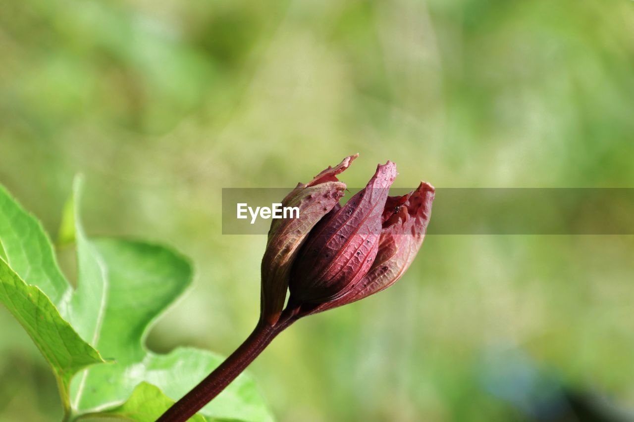 plant, beauty in nature, flower, close-up, flowering plant, bud, vulnerability, growth, focus on foreground, fragility, nature, no people, freshness, beginnings, green color, day, leaf, plant part, new life, flower head, outdoors, springtime, sepal