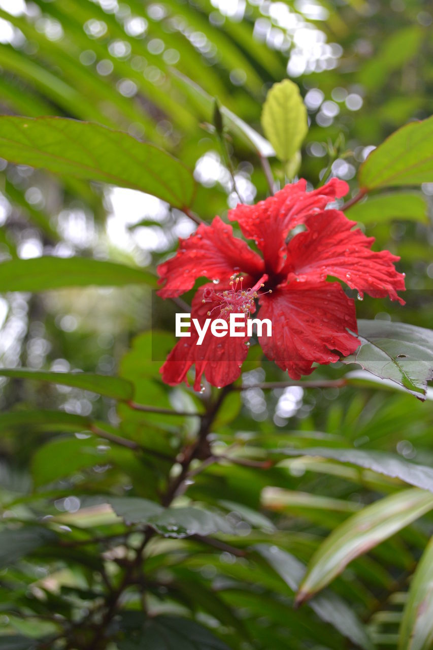 red, flower, growth, fragility, petal, hibiscus, nature, beauty in nature, freshness, day, flower head, focus on foreground, green color, no people, outdoors, close-up, blooming, tree