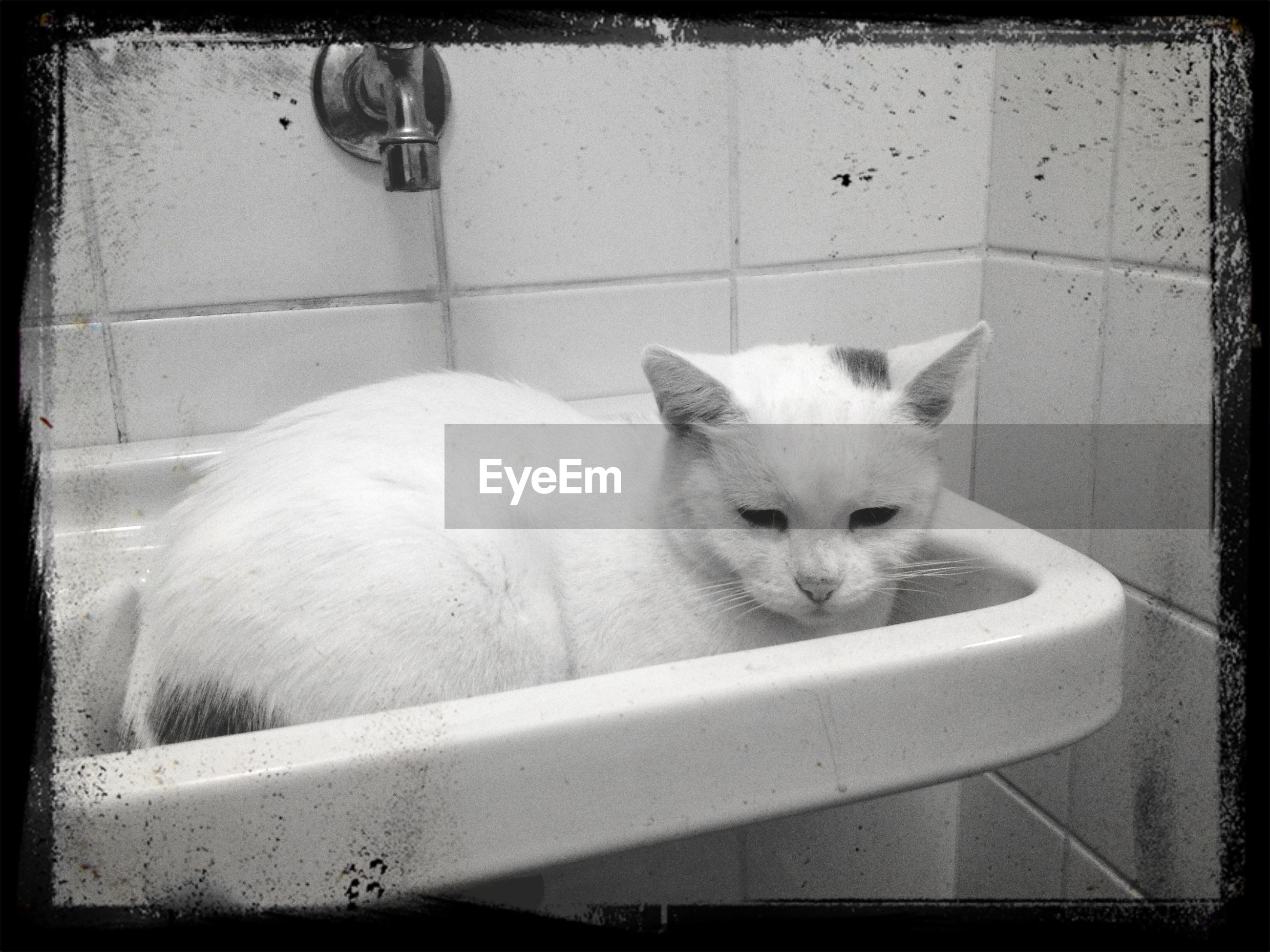 domestic animals, domestic cat, pets, cat, animal themes, mammal, indoors, one animal, feline, portrait, looking at camera, relaxation, whisker, transfer print, auto post production filter, sitting, lying down, resting, white color, close-up
