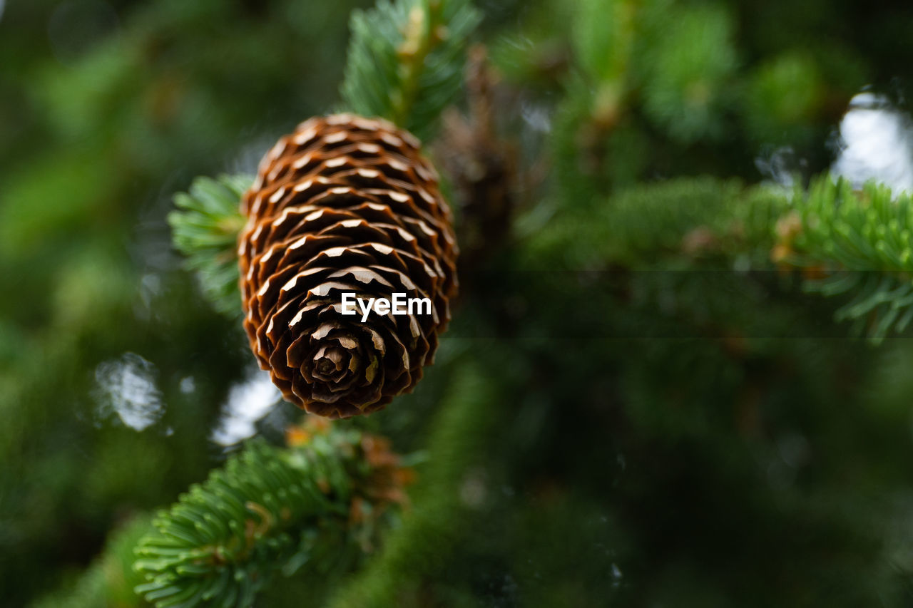 plant, close-up, growth, green color, focus on foreground, nature, beauty in nature, no people, day, tree, selective focus, pine cone, leaf, plant part, brown, outdoors, land, pattern, animal wildlife, animal, pine tree, coniferous tree