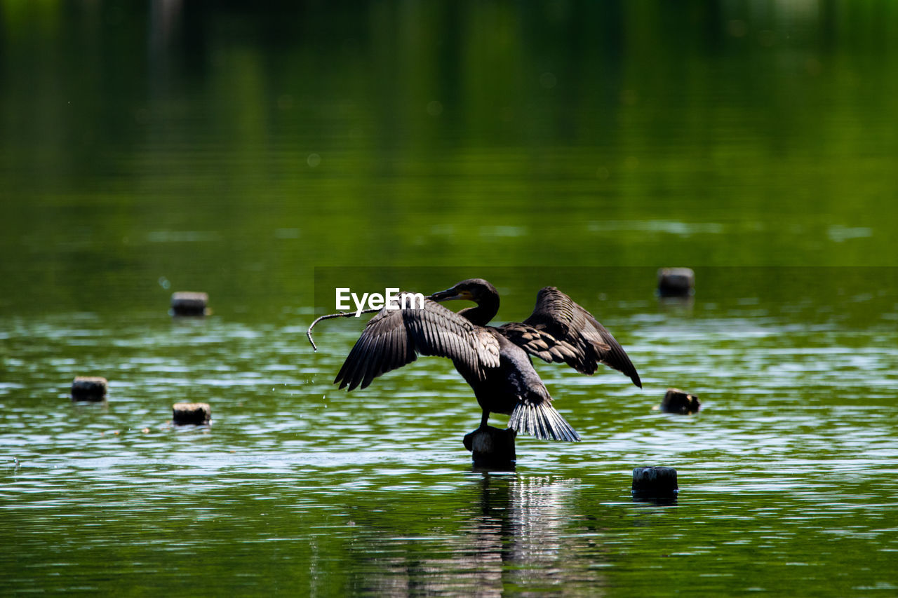 bird, animal themes, animal, animal wildlife, animals in the wild, vertebrate, water, group of animals, waterfront, lake, flying, spread wings, day, no people, beauty in nature, nature, reflection, zoology