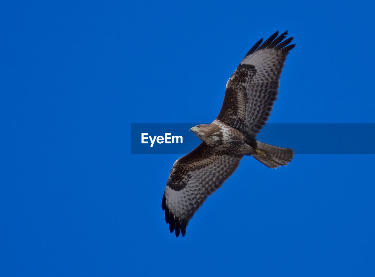 animals in the wild, blue, animal wildlife, animal themes, animal, bird, vertebrate, sky, spread wings, one animal, flying, clear sky, copy space, low angle view, no people, mid-air, nature, day, bird of prey, outdoors, falcon - bird