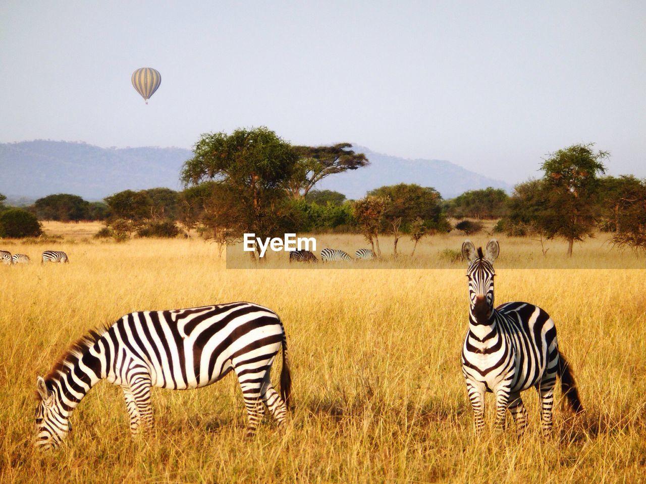Zebras On Grassy Field Against Sky At Serengeti National Park