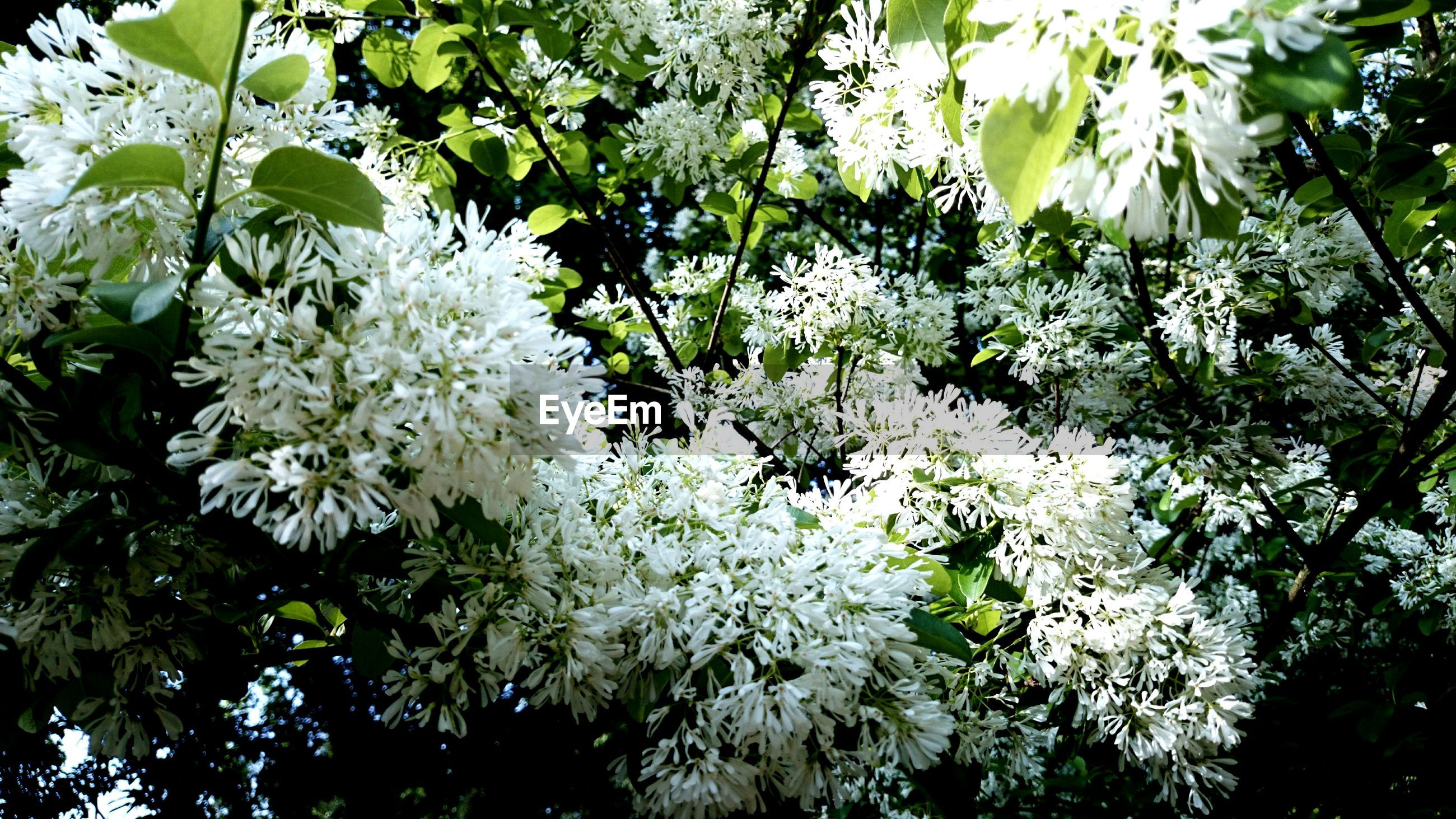 growth, tree, branch, freshness, flower, leaf, nature, beauty in nature, white color, low angle view, plant, fragility, blossom, green color, outdoors, day, no people, close-up, tranquility, blooming