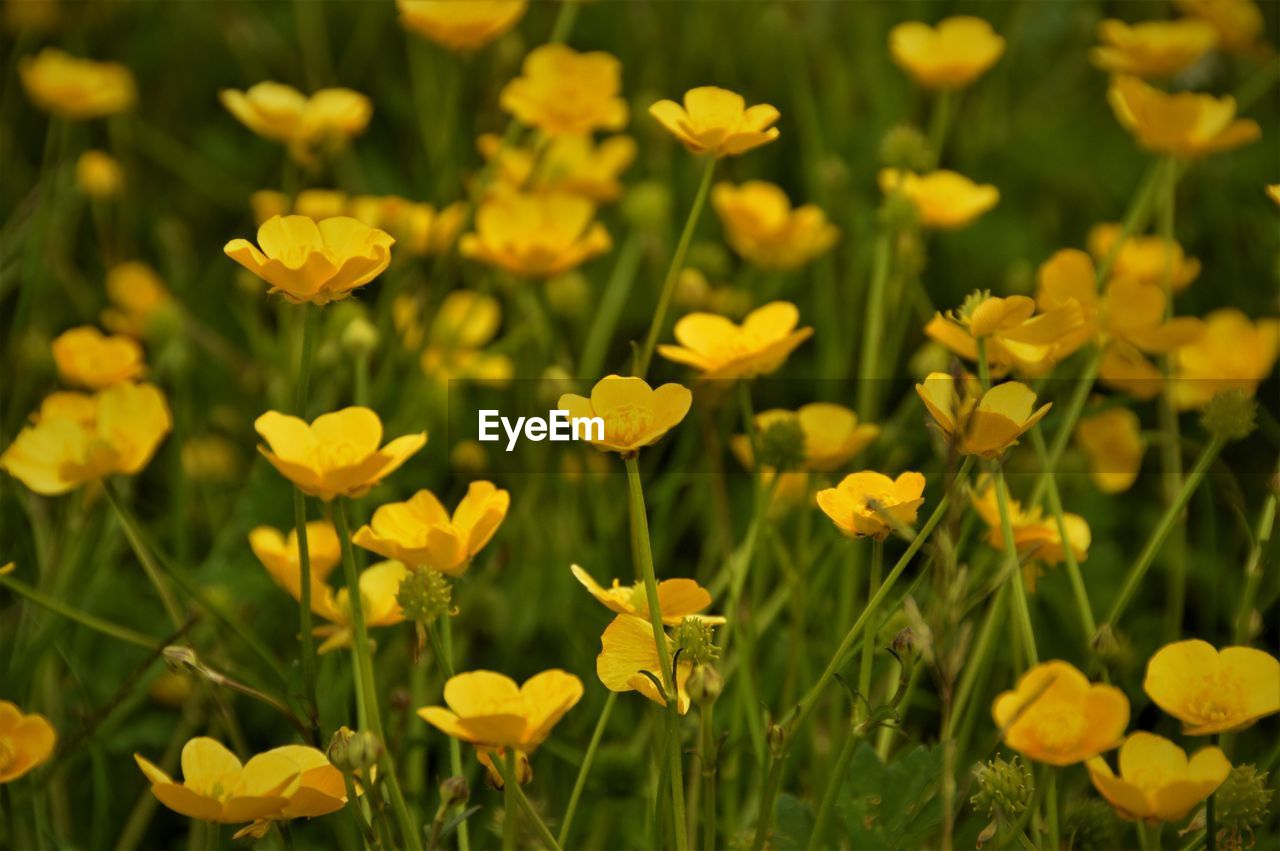 CLOSE-UP OF YELLOW FLOWERS GROWING ON FIELD