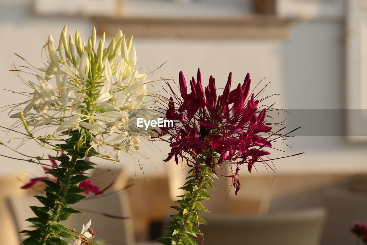 flower, plant, flowering plant, beauty in nature, growth, vulnerability, close-up, red, fragility, focus on foreground, freshness, no people, succulent plant, nature, cactus, day, petal, flower head, selective focus, inflorescence, outdoors, spiky