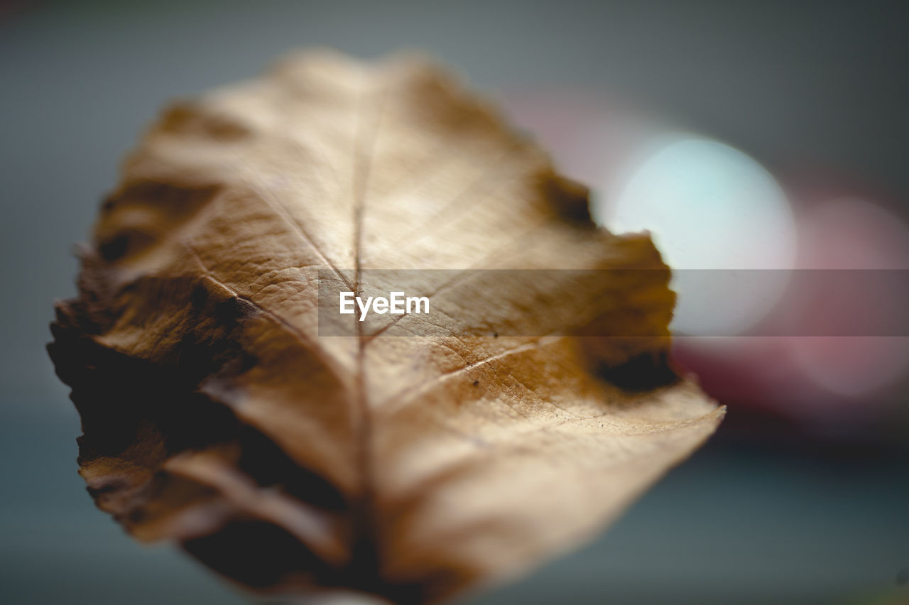 leaf, autumn, change, dry, close-up, fragility, selective focus, nature, focus on foreground, maple, no people, day, outdoors, beauty in nature
