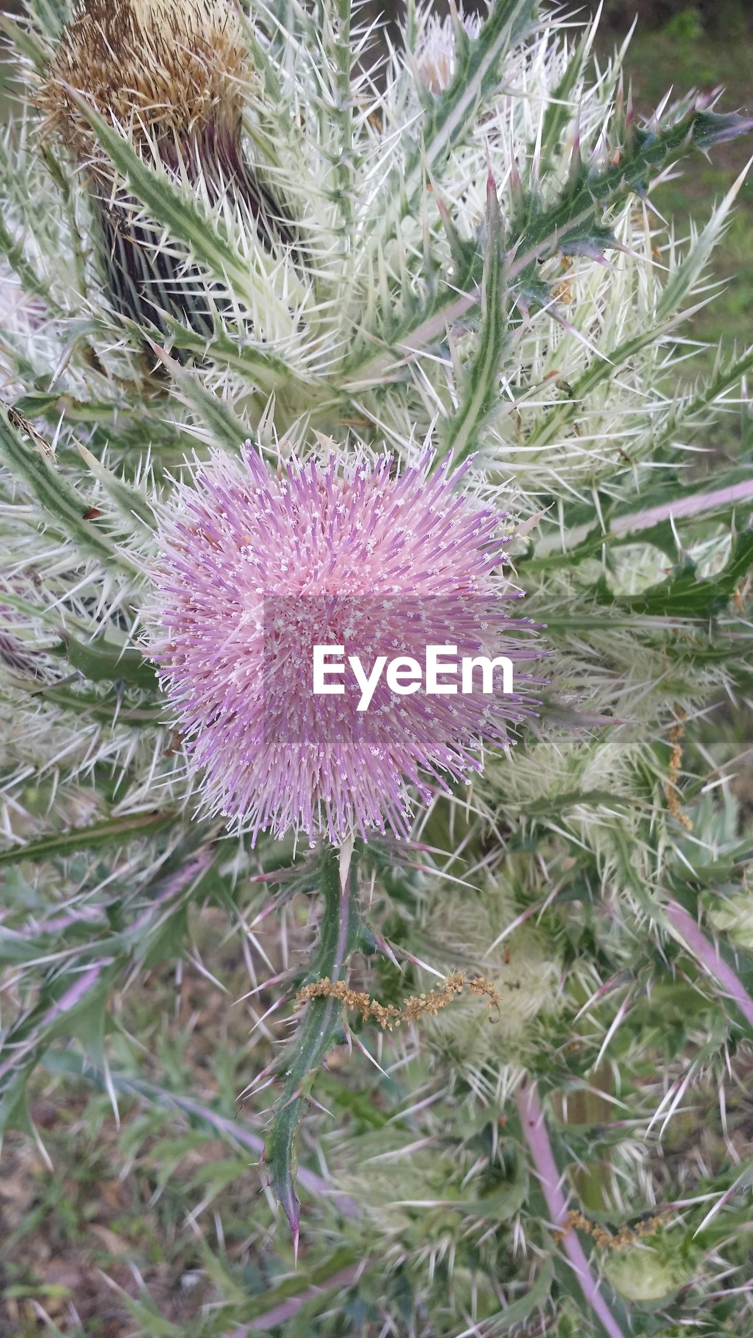 growth, plant, flower, nature, no people, purple, beauty in nature, outdoors, pink color, flower head, close-up, fragility, day, thistle, freshness