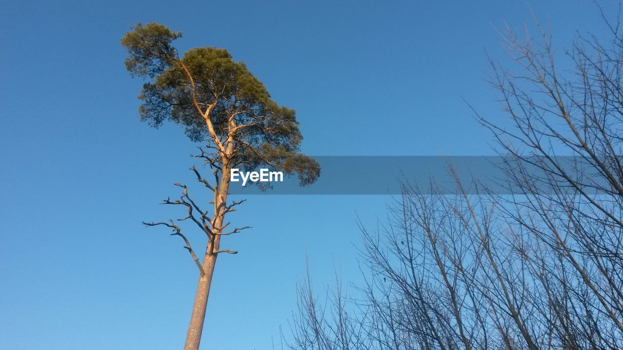 tree, blue, low angle view, branch, nature, bare tree, clear sky, day, no people, growth, beauty in nature, outdoors, tranquility, tree trunk, sky