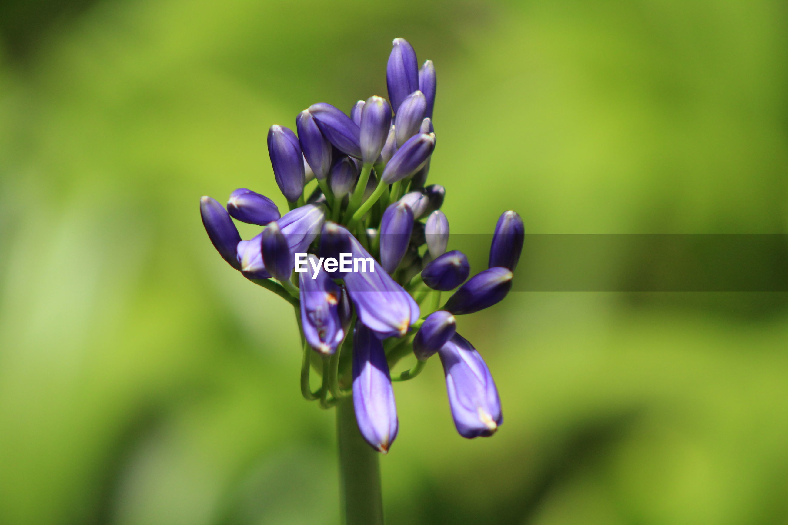 Close-up of purple flowering plant african lily