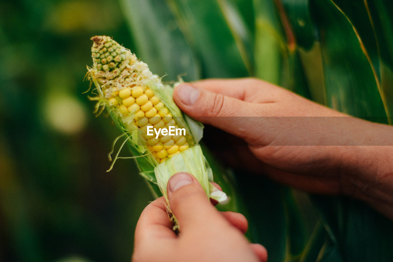 human hand, hand, real people, human body part, one person, holding, sweetcorn, corn, food and drink, food, yellow, vegetable, focus on foreground, freshness, agriculture, unrecognizable person, nature, day, corn on the cob, body part, outdoors, finger