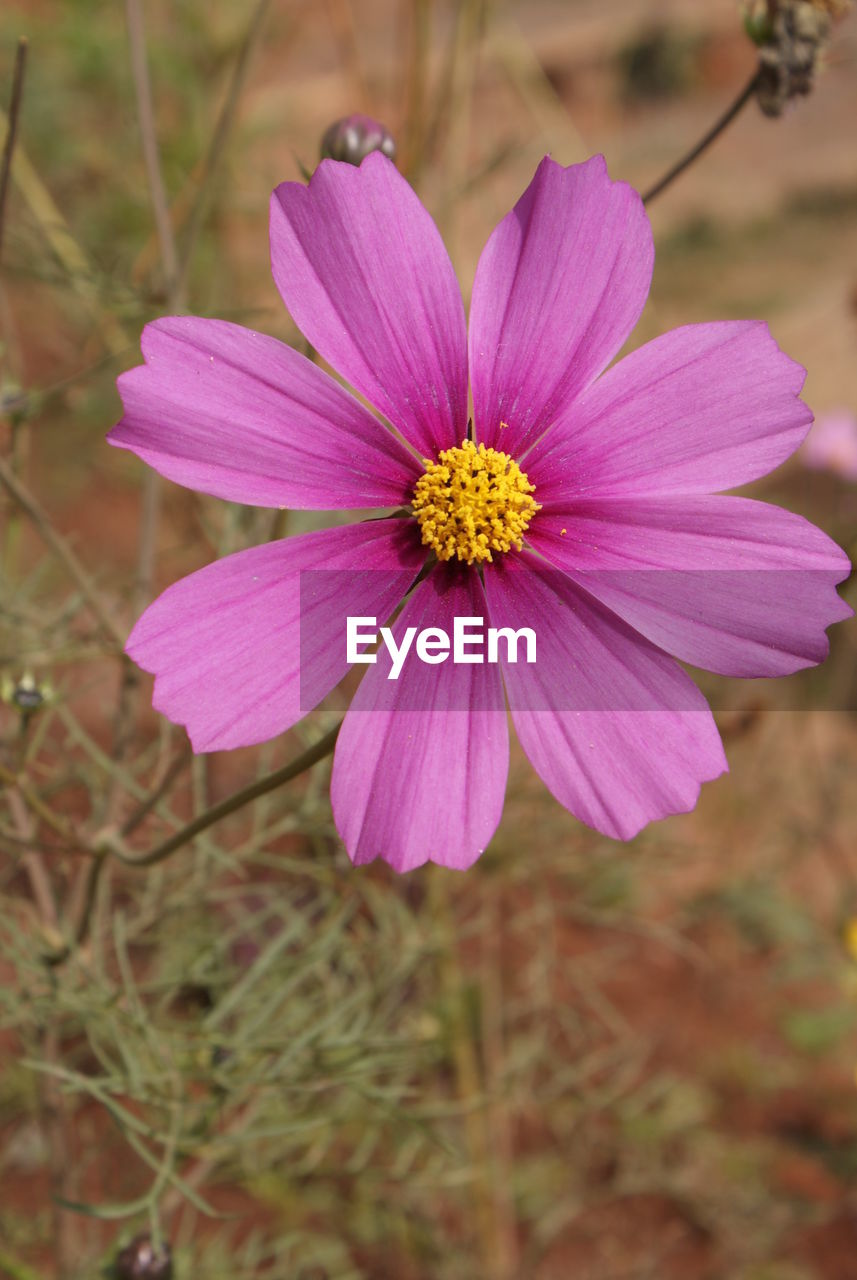flowering plant, flower, freshness, vulnerability, fragility, plant, petal, pink color, inflorescence, beauty in nature, flower head, close-up, growth, cosmos flower, focus on foreground, pollen, nature, no people, day, purple