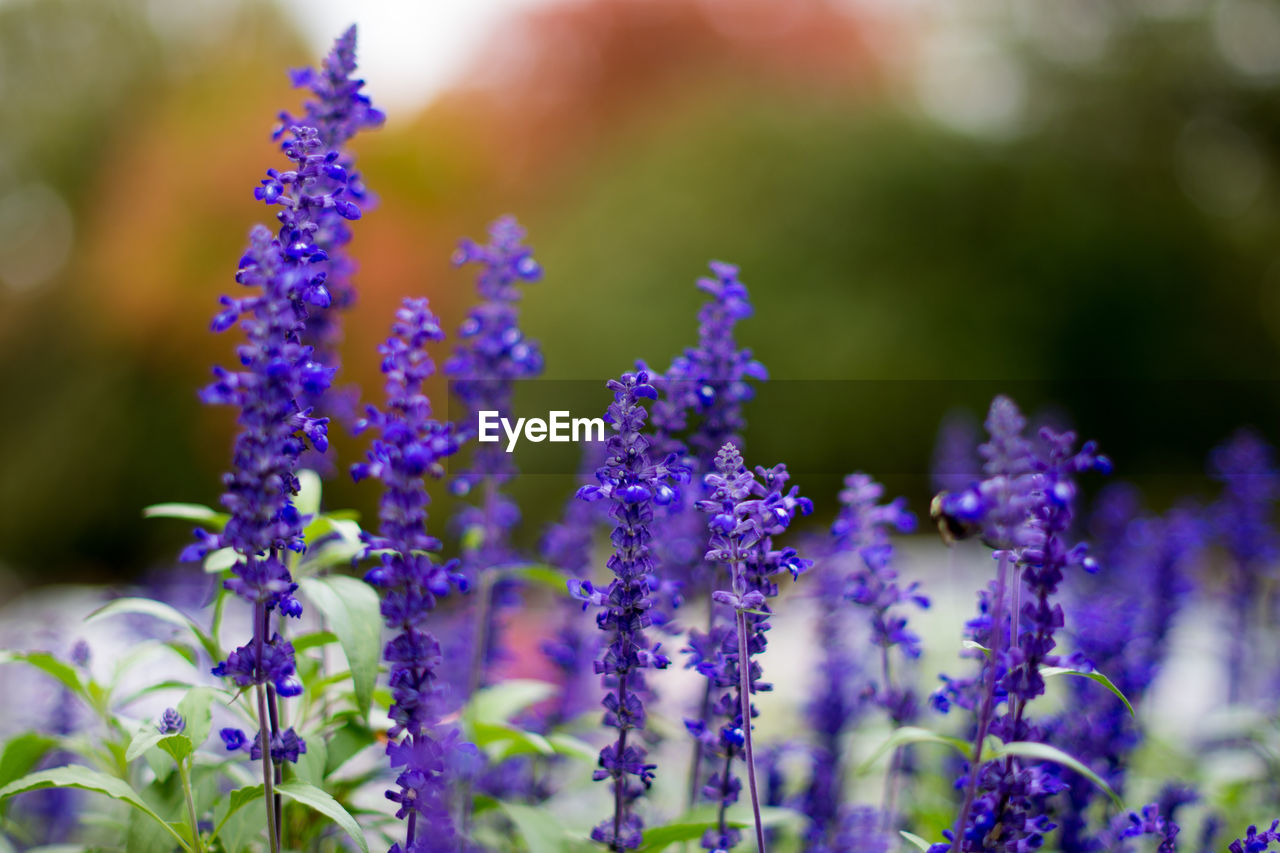 Close-Up Of Lavenders Blooming Outdoors