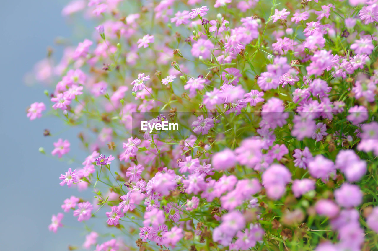 flowering plant, flower, plant, beauty in nature, freshness, fragility, vulnerability, growth, pink color, selective focus, close-up, petal, no people, day, nature, inflorescence, flower head, outdoors, abundance, tranquility