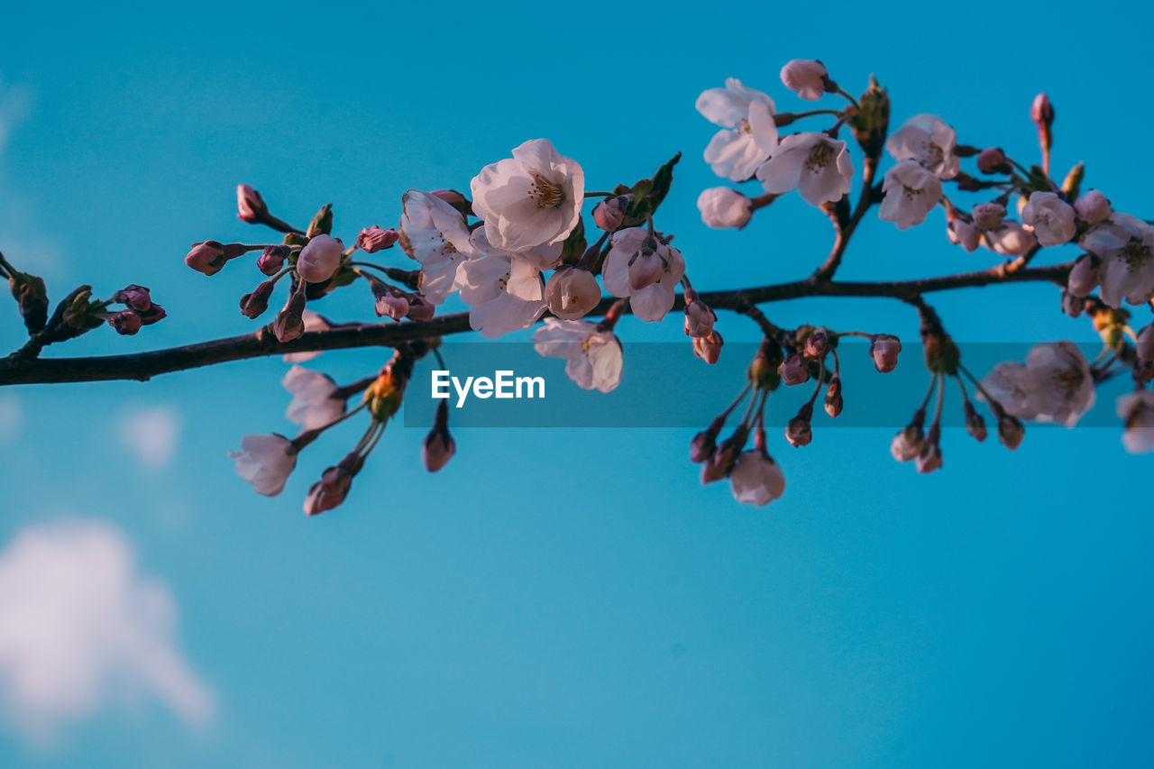 flowering plant, flower, fragility, beauty in nature, vulnerability, growth, sky, plant, freshness, nature, close-up, tree, day, blue, no people, pink color, low angle view, petal, branch, outdoors, springtime, flower head, blue background, cherry blossom, turquoise colored