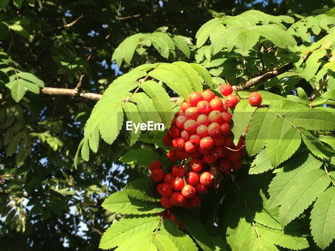 fruit, food and drink, green color, growth, leaf, tree, red, food, healthy eating, day, outdoors, freshness, no people, nature, close-up, branch, beauty in nature