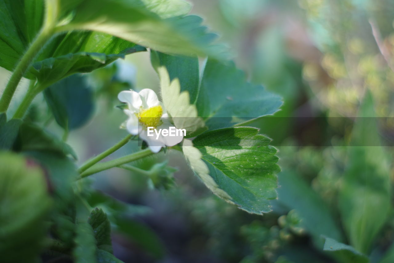 CLOSE-UP OF WHITE FLOWERING PLANT AGAINST BLURRED BACKGROUND