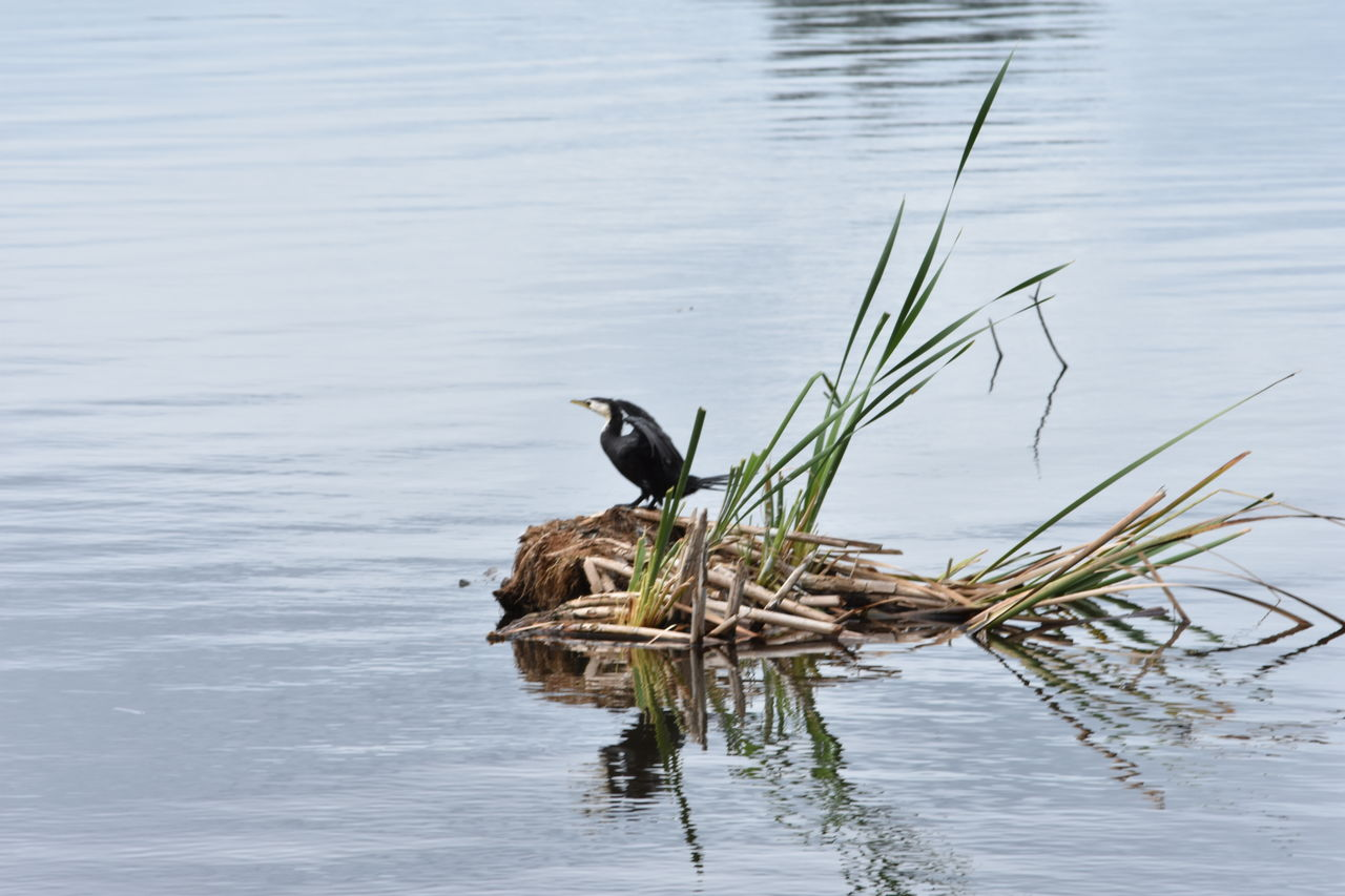 water, animal themes, animal, animal wildlife, one animal, lake, animals in the wild, vertebrate, bird, reflection, waterfront, no people, nature, day, plant, beauty in nature, cormorant, perching, outdoors