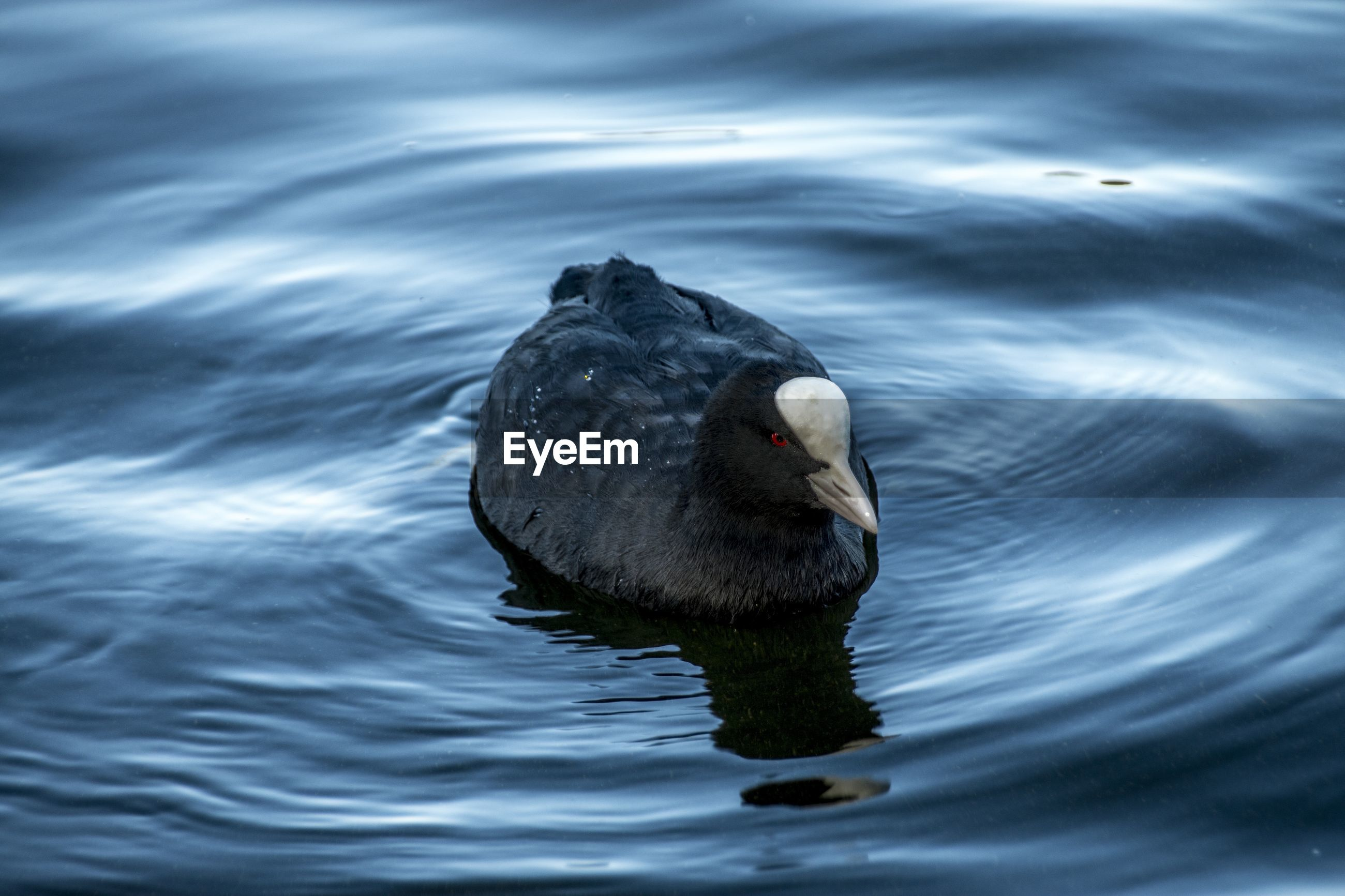 High angle view of coot swimming in lake