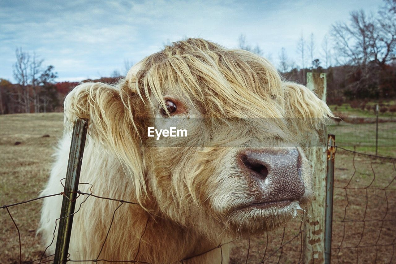 domestic animals, mammal, animal themes, one animal, livestock, animal head, cow, focus on foreground, sky, day, field, close-up, pets, outdoors, no people, highland cattle, nature