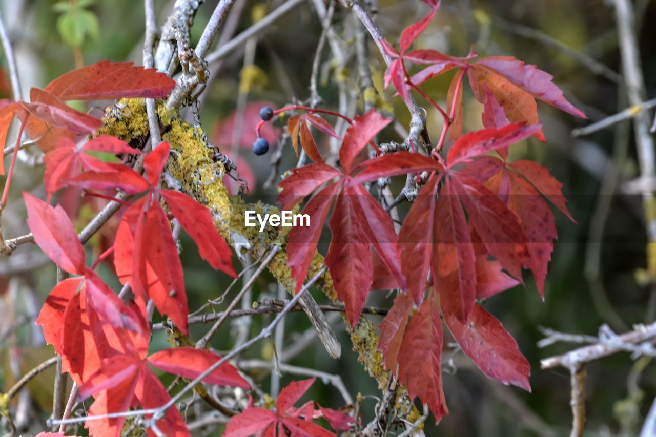 nature, leaf, red, growth, beauty in nature, outdoors, plant, day, no people, autumn, focus on foreground, close-up, fragility, maple leaf, maple
