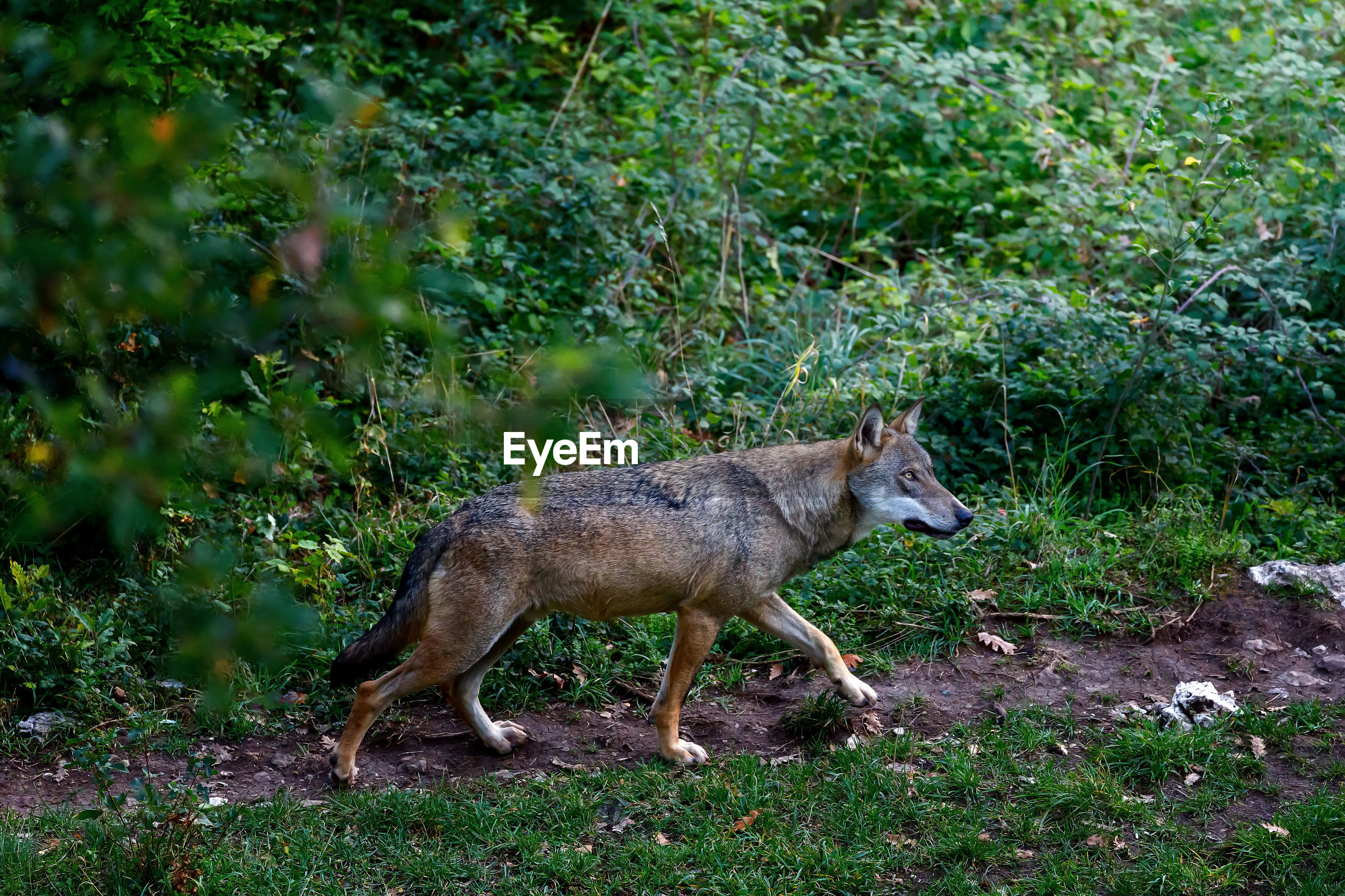 Male specimen of the dominant alpha wolf. the lone wolf walks on the forest path.
