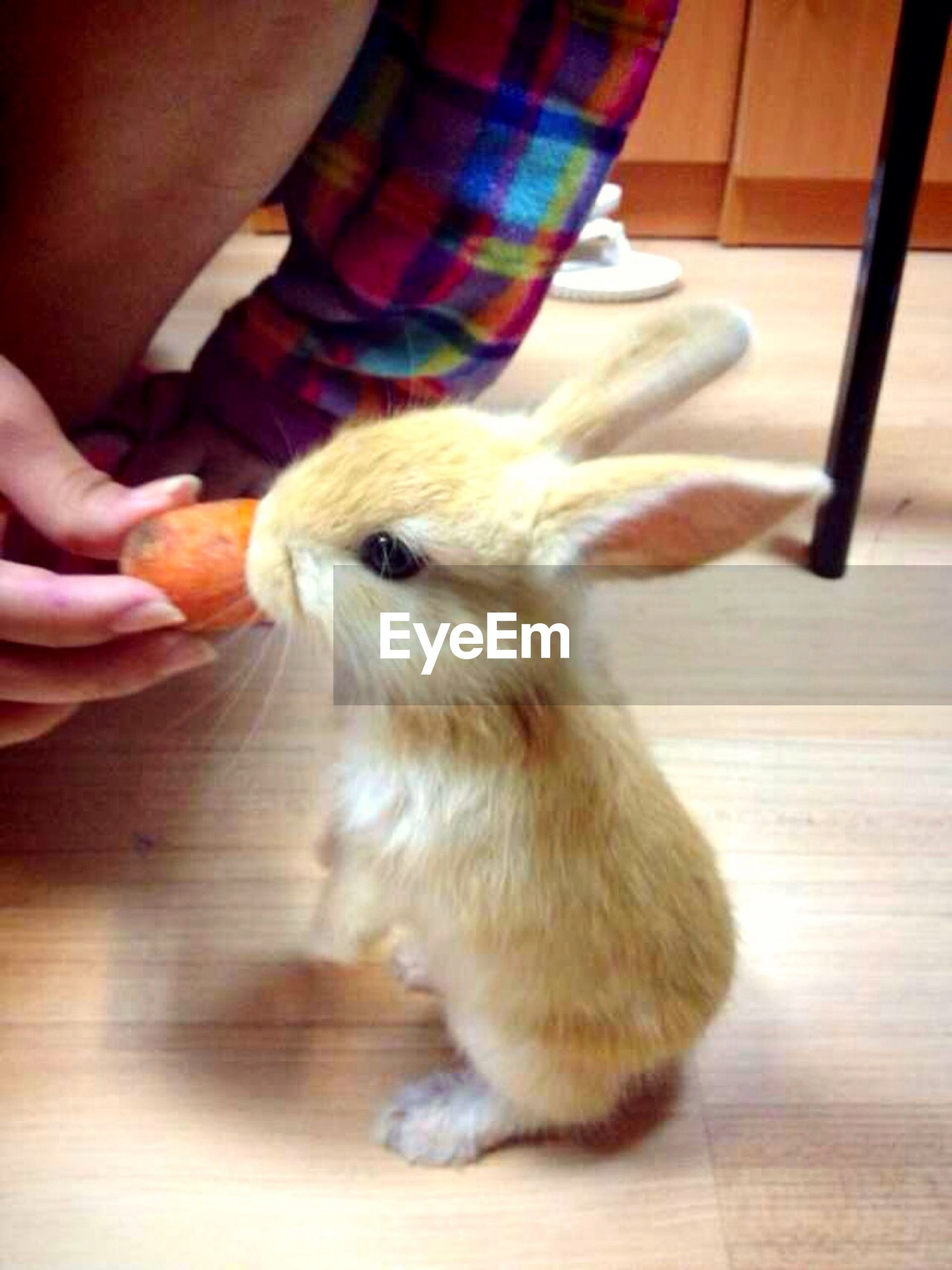 Cropped image of person feeding carrot to rabbit at home