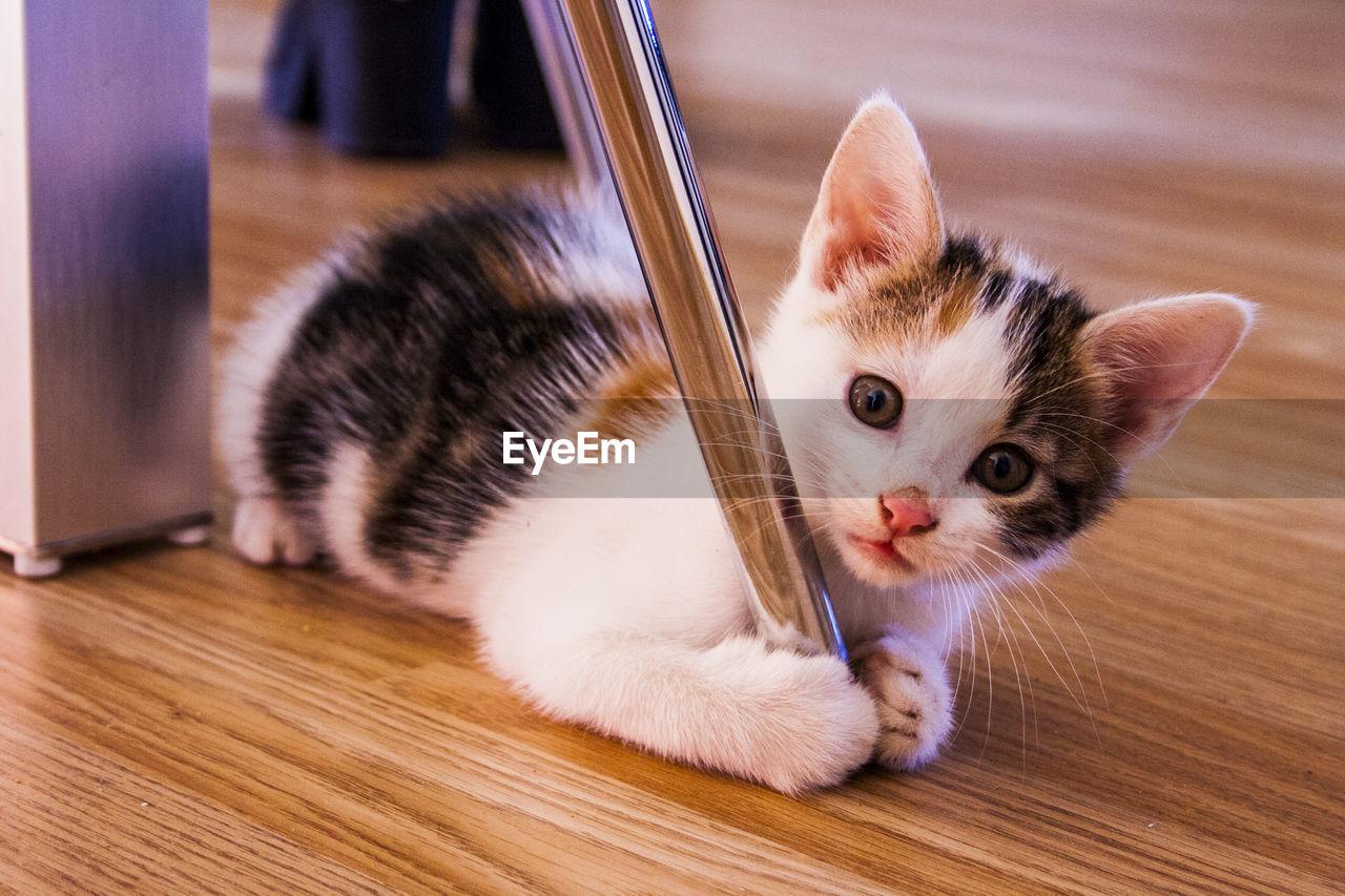 Portrait Of Tabby Kitten On Wooden Flooring