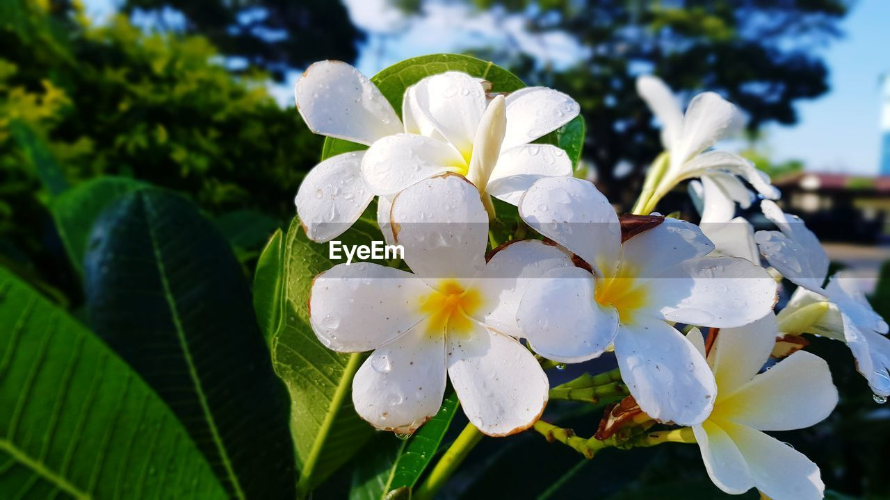 flowering plant, flower, petal, plant, freshness, fragility, growth, vulnerability, white color, beauty in nature, inflorescence, close-up, flower head, focus on foreground, nature, day, leaf, plant part, no people, outdoors, frangipani