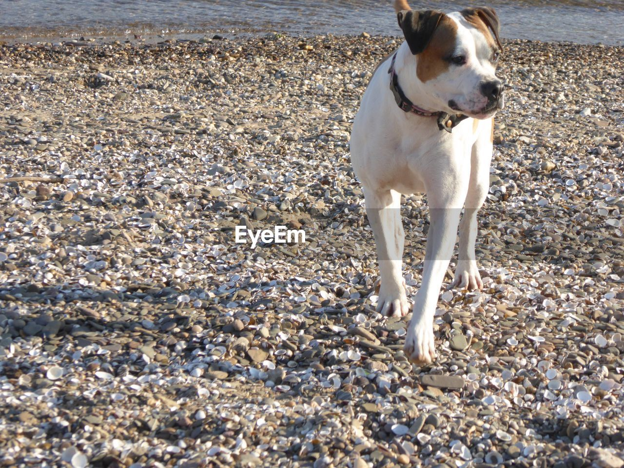 dog, pets, one animal, domestic animals, animal themes, beach, day, mammal, outdoors, sand, no people, nature