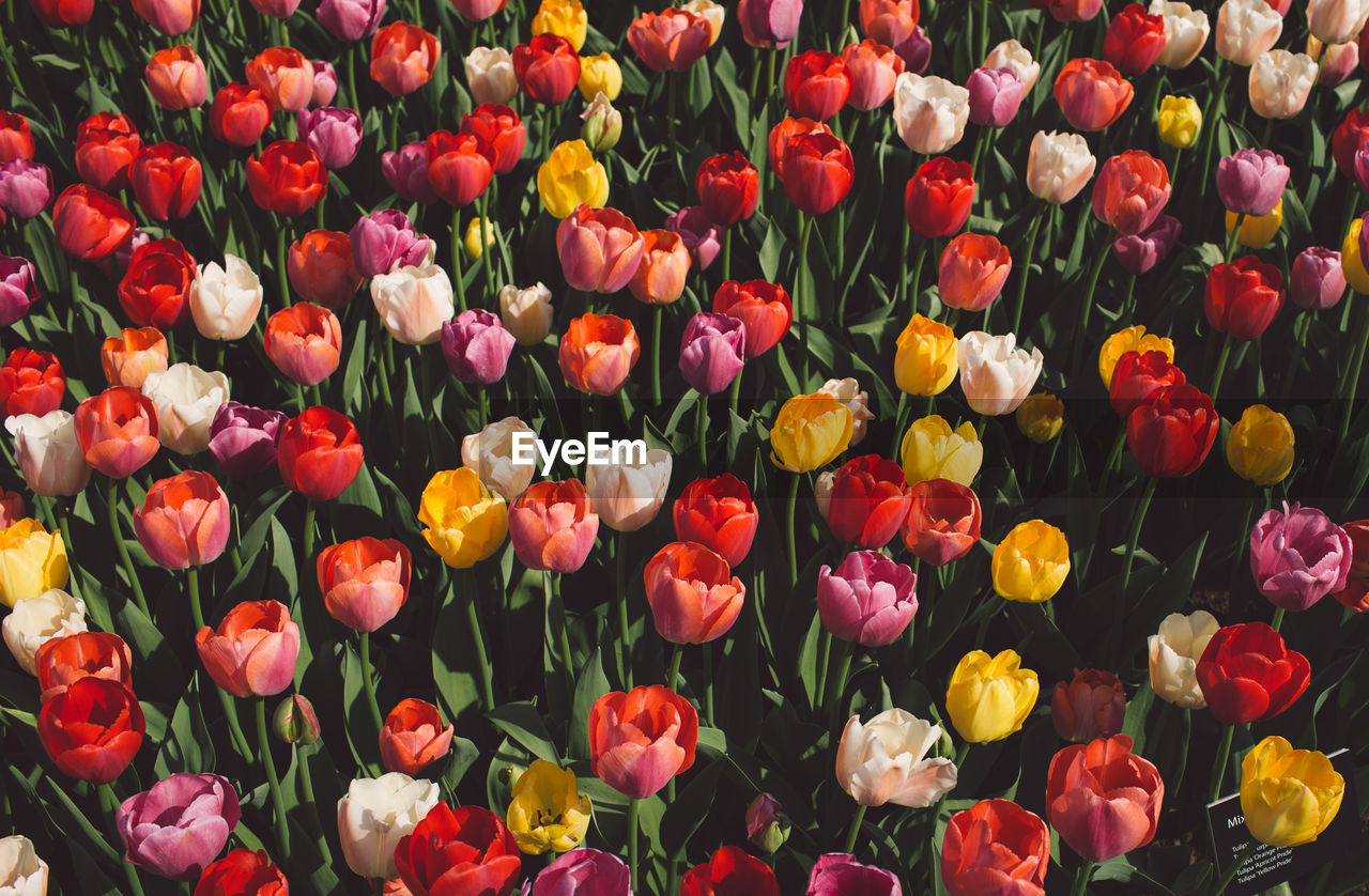 flower, flowering plant, plant, vulnerability, fragility, beauty in nature, freshness, petal, full frame, flower head, inflorescence, backgrounds, close-up, no people, tulip, growth, multi colored, abundance, yellow, nature, outdoors, flowerbed, flower arrangement