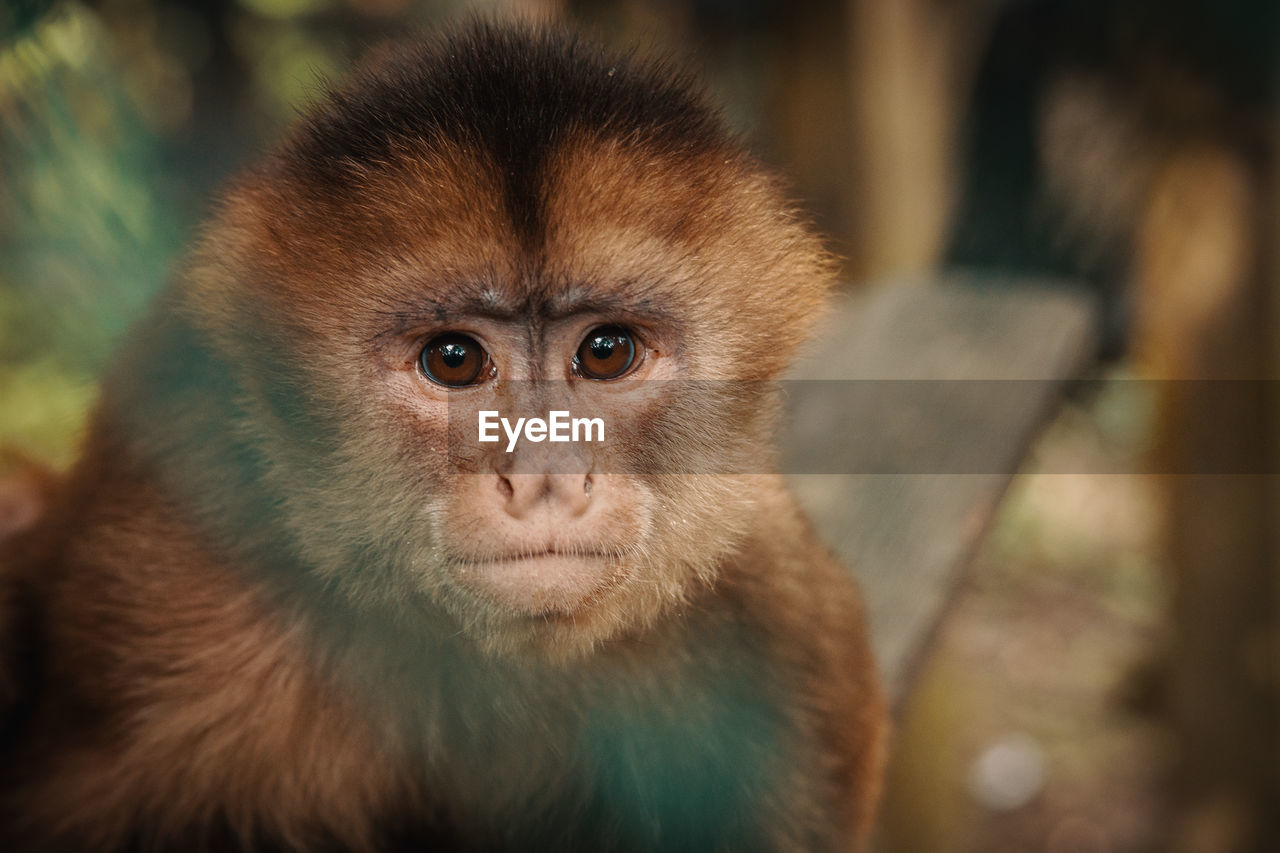 one animal, mammal, animal wildlife, vertebrate, animals in the wild, primate, focus on foreground, close-up, no people, looking at camera, portrait, day, zoo, selective focus, zoology, animal body part, animal eye