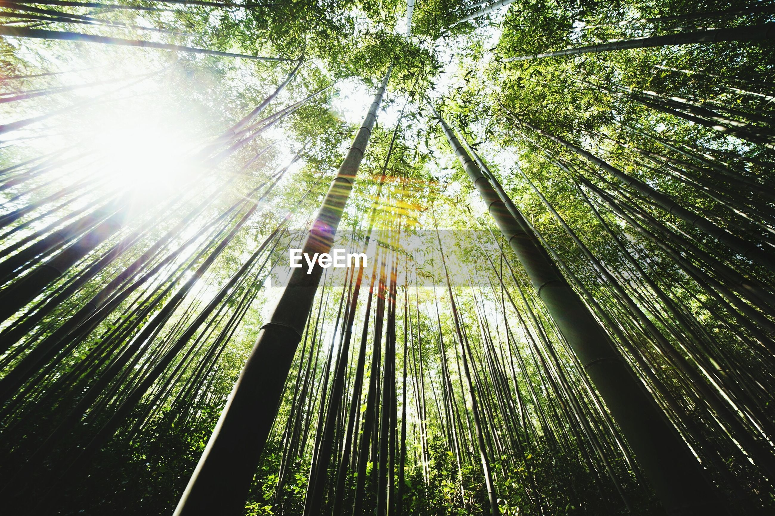 tree, growth, low angle view, tree trunk, nature, tranquility, sunlight, green color, beauty in nature, sunbeam, sun, forest, branch, lens flare, day, tall - high, outdoors, tranquil scene, scenics, no people