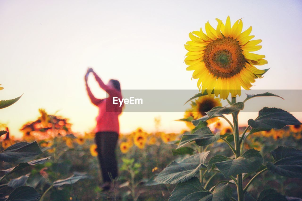 flower, plant, flowering plant, growth, sky, beauty in nature, nature, land, freshness, yellow, petal, field, flower head, one person, real people, sunflower, fragility, leisure activity, vulnerability, lifestyles, human arm, outdoors, arms raised, pollen