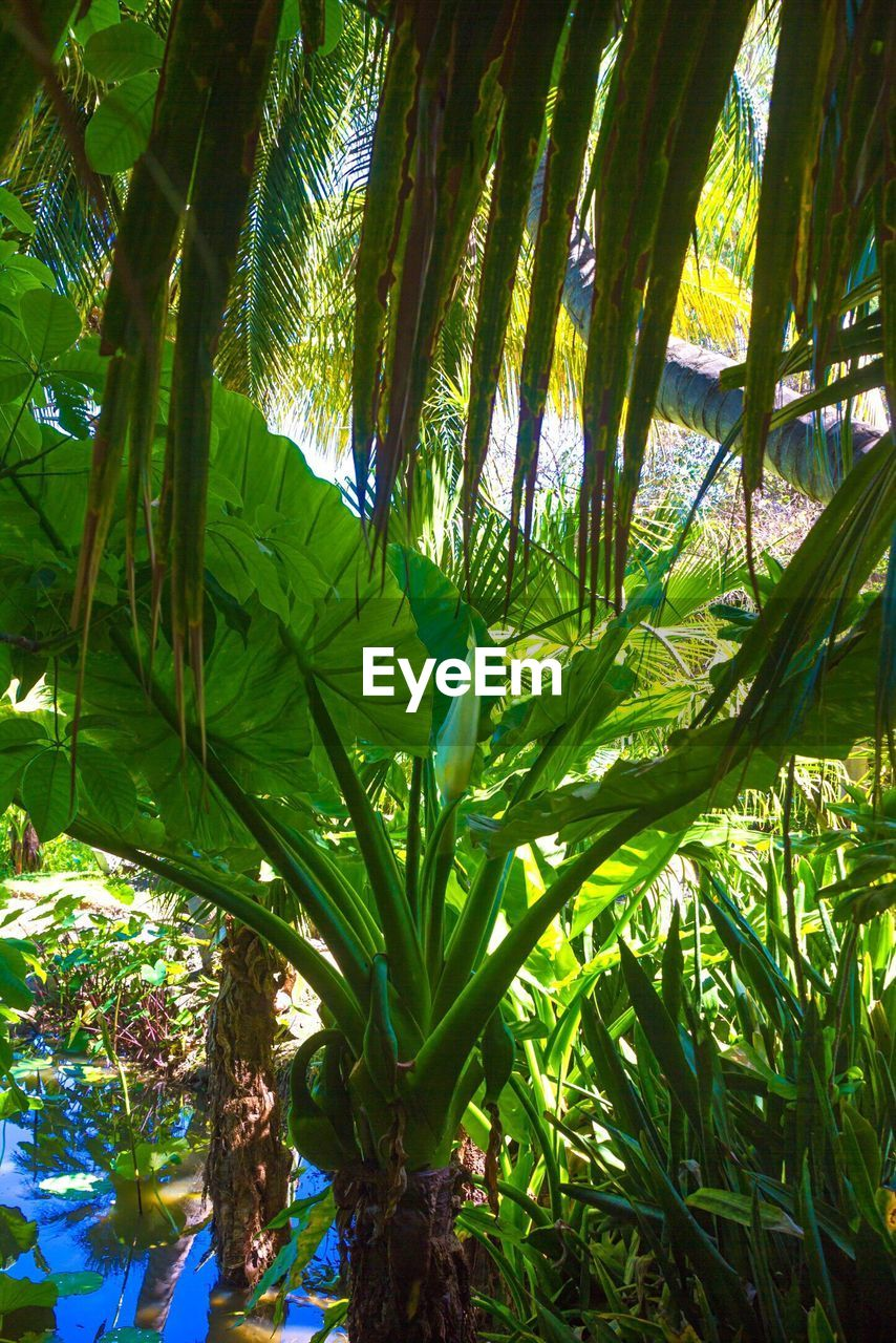 growth, green color, leaf, nature, day, tree, beauty in nature, no people, sunlight, plant, tranquility, outdoors, banana tree, forest, bamboo - plant, palm tree, freshness, close-up