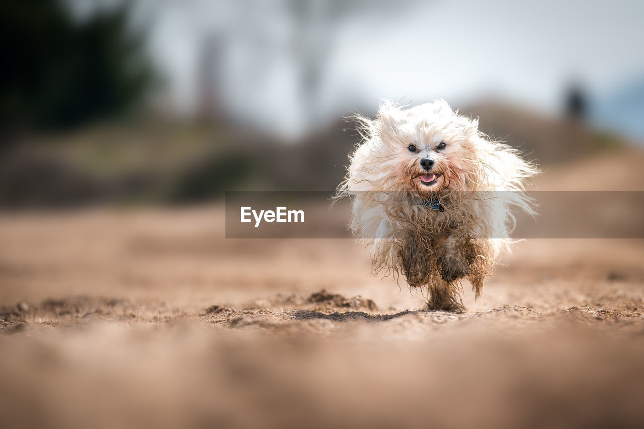 domestic, pets, one animal, canine, dog, domestic animals, mammal, animal themes, animal, selective focus, vertebrate, portrait, day, no people, running, looking at camera, land, nature, animal hair, outdoors, surface level, small